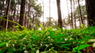Pine tree forest in the morning,Pine tree forest tilt up camera angle video