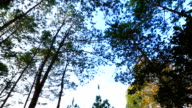 Pine tree forest video