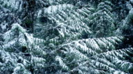 Pine Tree In Winter With Snow Falling video