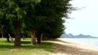 pine tree on the beach video