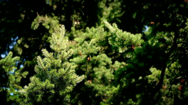 Pine Tree Swaying In The Breeze video