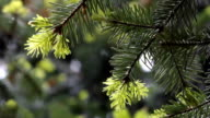 Pine tree video background video
