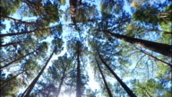 pine tree video