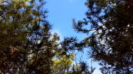 Pine tree with green pine branches. video