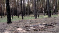 Pine trees in the forest video