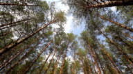pine trees swaying in the wind, sky video