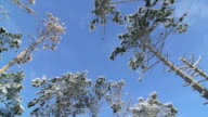 Pine trees trunks snow covered against blue sky in winter forest video