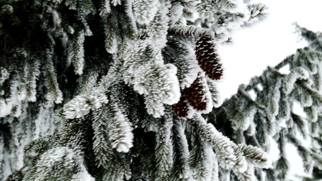 Pine. Winter landscape with snow in mountains Carpathians video