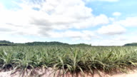 Pineapple agriculture plantation video