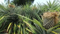 Pineapple agriculture video