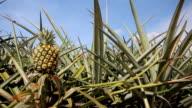 Pineapple farm in summer season with blue sky video