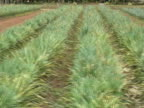 Pineapple Plantation: Moving Tracking Shot video
