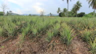 Pineapple plantation video
