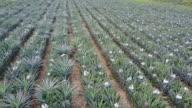 Pineapple tropical farm video