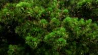Pine-tree. video