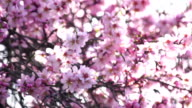 Pink almond blossoms video