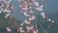 Pink and white blossoms dancing in the wind on a weeping cherry tree in Japan during spring video