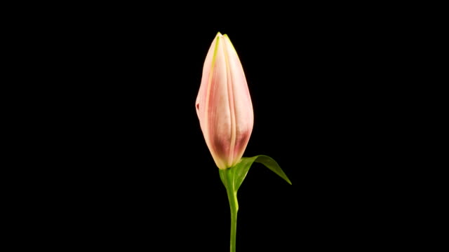 Pink and White Lily Time Lapse video