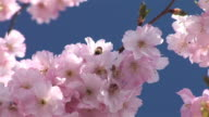 HD: Pink blossoms video