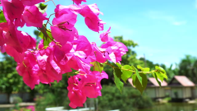 Pink Bougainvillea flower close up video