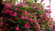 Pink Bougainvillea Vine video
