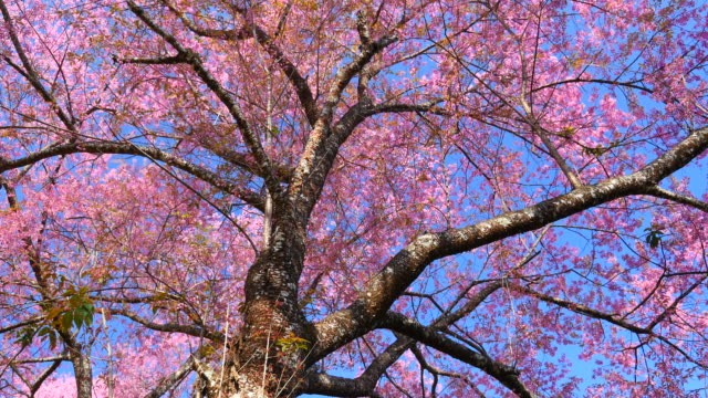 Pink Cherry Blossom Branches in Spring Season video