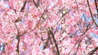 Pink Cherry Blossom flowers moving on the breeze video