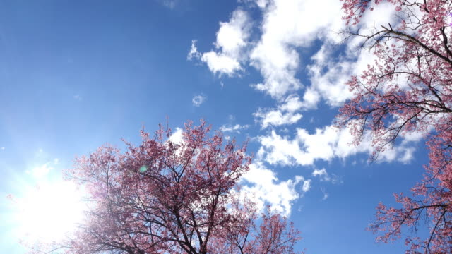pink cherry blossom flowers video