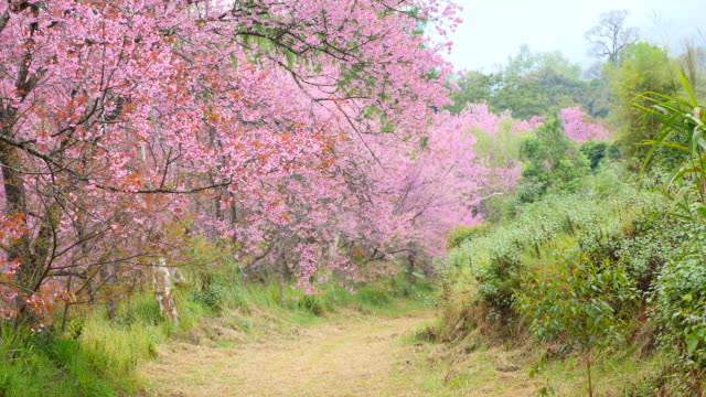 Pink Cherry Blossoms in Spring Season video