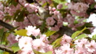 Pink cherry blossoms in the garden close-up video