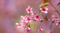 Pink Cherry Blossoms. video