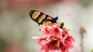 Pink cherry flowers blooming in springtime. Colorful butterfly video