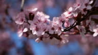 Pink cherry flowers blooming in springtime swining on the wind. video
