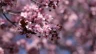Pink cherry flowers blooming in springtime. video