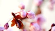 Pink cherry flowers blooming video
