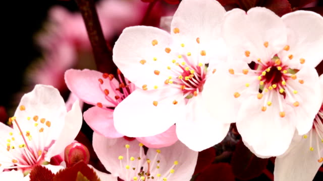Pink cherry tree blooming video