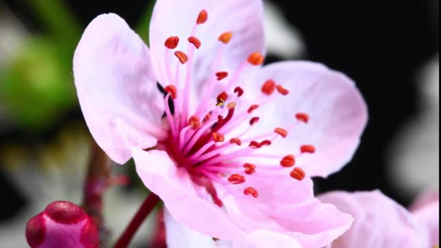 Pink cherry tree flowers blooming 4K video