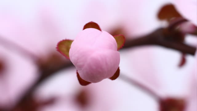 Pink cherry tree flowers blooming 4K video