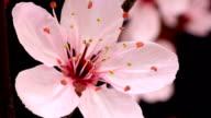 Pink cherry tree flowers blooming HD video