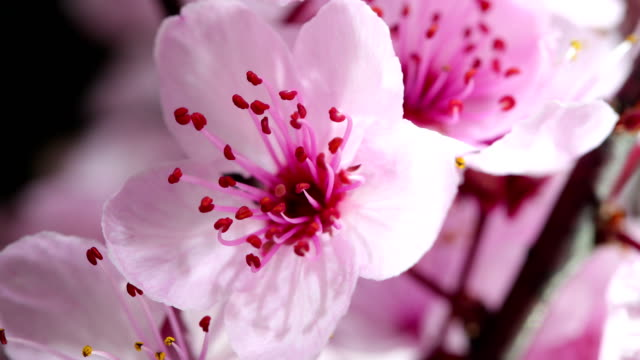 Pink cherry tree flowers blooming video