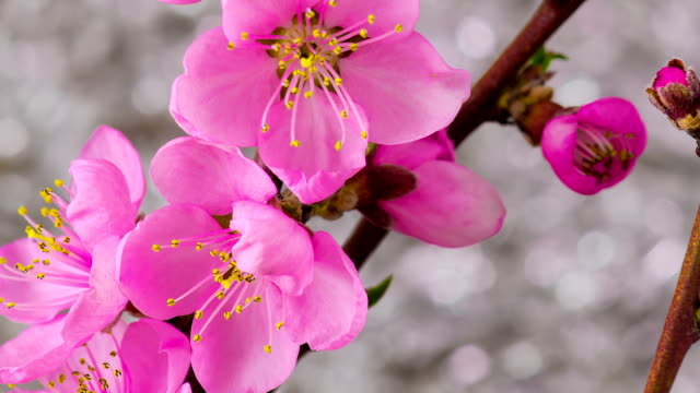 Pink Cherry Tree Flowers Blossoms. video