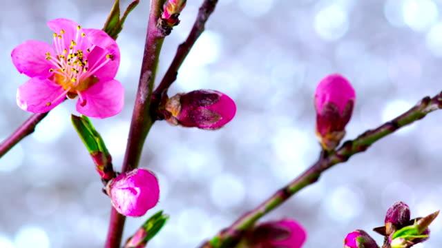 Pink Cherry Tree Flowers. video