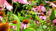 Pink coneflowers video