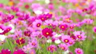 Pink cosmos flower fields video