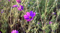 Pink cosmos flower sway on the wind video