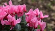 pink cyclamen flowers video