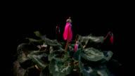Pink Cyclamen Time Lapse video