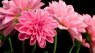 Pink dahlia flowers blooming 4K video