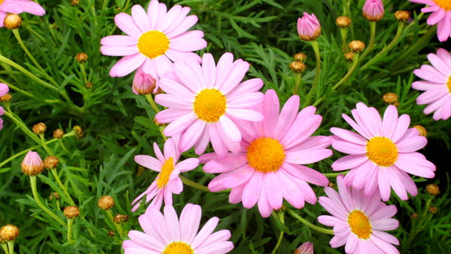 Pink daisies bud blooming video