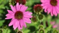 Pink Echinacea  flower video